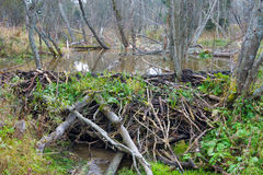 Beaver Dam on river Stock Images