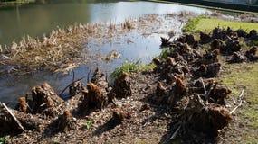 Beaver dam. River near a park. Nature. stock photography