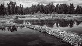 Beaver Dam at Schwabacher Landing Royalty Free Stock Photography