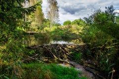 Beaver dam at a small creek. Belarus, Naliboki forest royalty free stock image