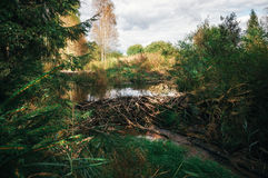 Beaver dam at a small creek Stock Photography