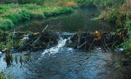 Beaver dam on small river. Natural beaver dam on small river in Lithuania stock photo