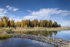 Beaver Dam. A beaver dam on the Snake River Royalty Free Stock Photo