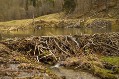 Beaver dam in the swamp Royalty Free Stock Photography