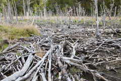 Beaver dam at tierra del fuego national park Stock Image