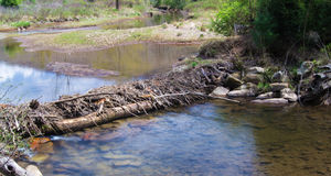Beaver Dam in a Wetland Royalty Free Stock Images