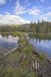 Beaver Dam on a Wilderness Lake Stock Image