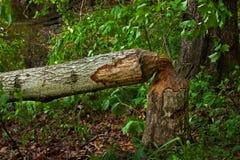 Beaver Damage Stock Photo