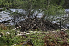 Beaver damage Royalty Free Stock Photos