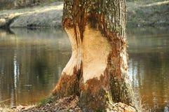 Free Beaver Damage Stock Photography - 22771402