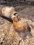 Beaver damage Royalty Free Stock Image