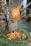 Beaver Damage and Elm Tree Royalty Free Stock Photography