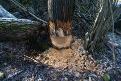 Beaver damage to trees Royalty Free Stock Photo