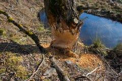 Beaver damage to trees Stock Image