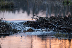 Beaver dams. Confluence of the pond Pekhorka in Bulganinsky Royalty Free Stock Image