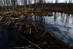 Beaver dams filled with water reflect clouds in the sky Stock Photo