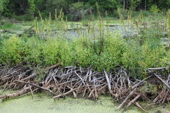 Beaver dams in northern Minnesota Stock Photos