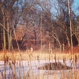 Beaver den. On a frozen pond at Indiana royalty free stock images