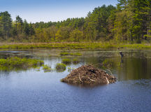 Beaver den or lodge. On a tranquil pond in the spring Royalty Free Stock Photos