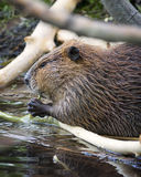 Beaver Dining in the Tetons Royalty Free Stock Images