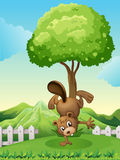 A beaver doing a handstand at the hilltop Royalty Free Stock Photo