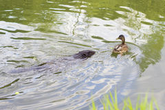 Beaver and duck in river. Friends beaver and a duck swimming in river Royalty Free Stock Photography