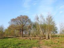 Beaver eat many trees in marsh, Lithuania Stock Photo