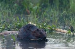 Beaver eat tree Stock Image