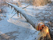Beaver eat up tree Royalty Free Stock Photography