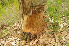 Beaver-eaten tree Stock Image