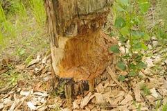 Beaver-eaten tree Stock Image