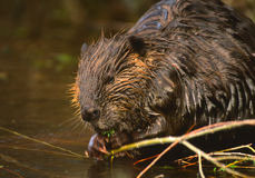 Beaver Eating Royalty Free Stock Images