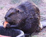 Beaver eating Royalty Free Stock Photography
