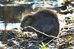 Beaver eating branches Stock Image