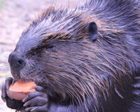 Beaver eating stock photo