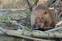 Beaver Eating Tree Bark Royalty Free Stock Photography