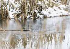 Beaver eats at riverside in winter Stock Photography