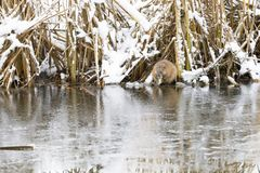 Beaver eats at riverside in winter Royalty Free Stock Images
