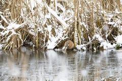 Beaver eats at riverside in winter Stock Photos