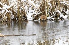Beaver eats at riverside in winter Royalty Free Stock Image