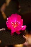 Beaver el flor de la flor del color de rosa del cacto de la cola Fotografía de archivo libre de regalías