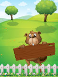 A beaver with an empty wooden board Stock Photos