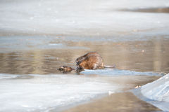 The Beaver Family stock photo