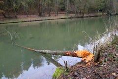 Beaver. Fauna / Beaver / Felled trees beavers Royalty Free Stock Photography