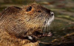 Beaver, Fauna, Mammal, Muskrat stock images