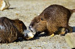 Beaver, Fauna, Mammal, Muskrat stock photo