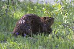Beaver feeding on new twigs Stock Image