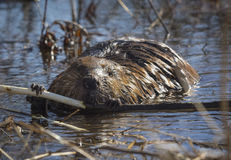 Beaver Feeding on a Sapling. A large Beaver feeding on a small tree sapling in a Hudson Valley pond Royalty Free Stock Photos