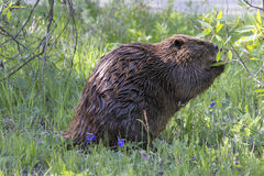 Beaver feeding on young trees Royalty Free Stock Photo