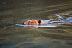 Beaver. The beaver floats in the water stock photo